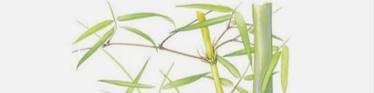 bamboe gedrag